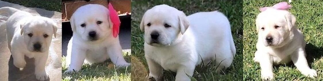 The Finest Quality White Labrador Retriever Puppies For Sale in California