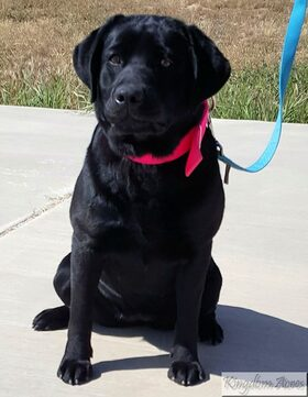 Cora is a gorgeous AKC Black English Labrador Retriever. future mother to our Black labrador litters