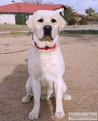 Dezzy is a handsome White English Labrador Retriever from Champion English Blood lines