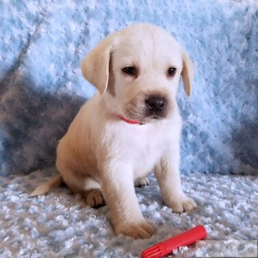 Red Collar- Male Puppy