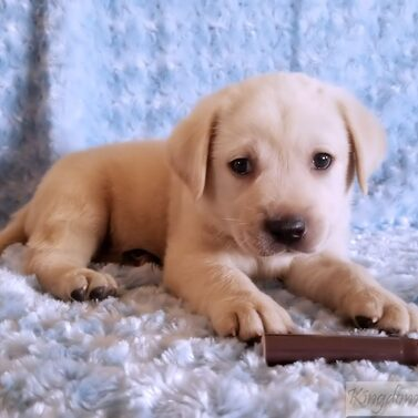 Brown Collar- Male Puppy-Reserved For Jaime Cabrera