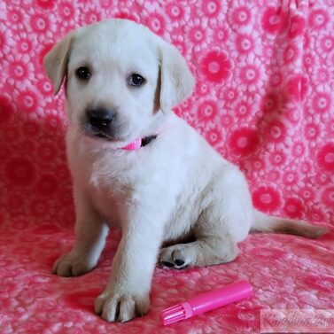 Pink Collar- Female Puppy-RESERVED FOR ED SIECKERT
