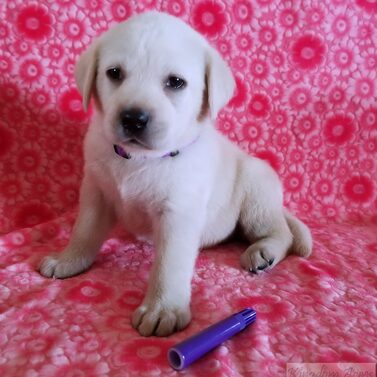 Purple Collar- Female Puppy-Reserved For Cindy Lyman