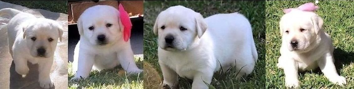 AKC LABRADOR RETRIEVER PUPPIES FOR SALE, WHITE, CREAM, YELLOW, BLACK LAB PUPPIES FROM ENGLISH CHAMPION BLOODLINES, WE ARE LOCATED IN SOUTHERN CA, White Labrador Retriever Puppies For Sale in California, SOCAL