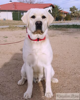 AKC WHITE ENGLISH LABRADOR- SIRE TO THE PUPPIES