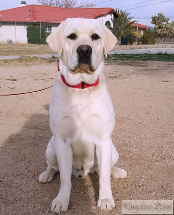 AKC White English Lab, Sire to our puppies.