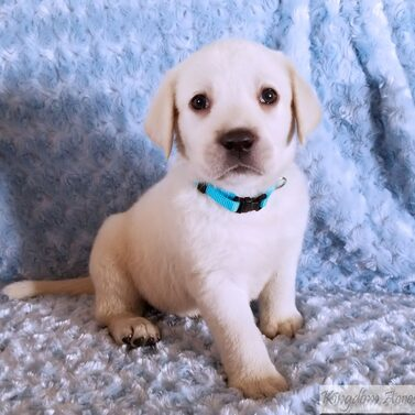 Teal Collar- Male Puppy