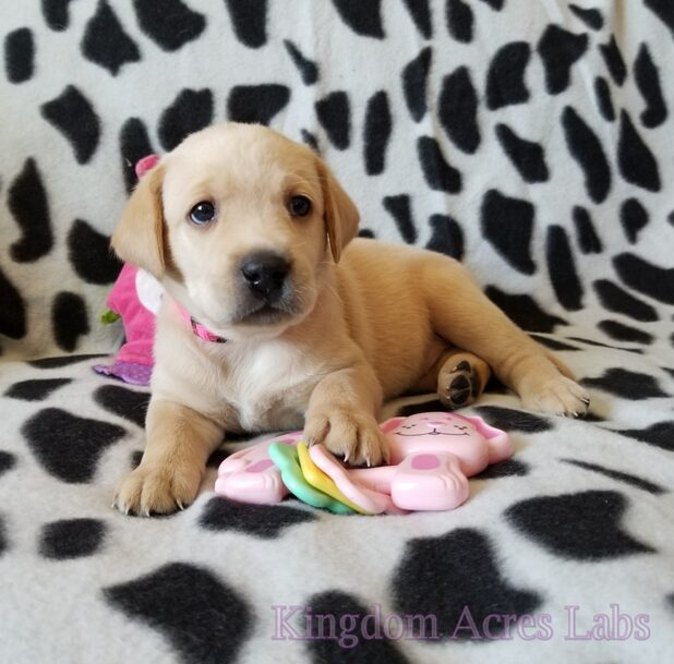 Yellow Labrador Retriever Puppy for sale in CA