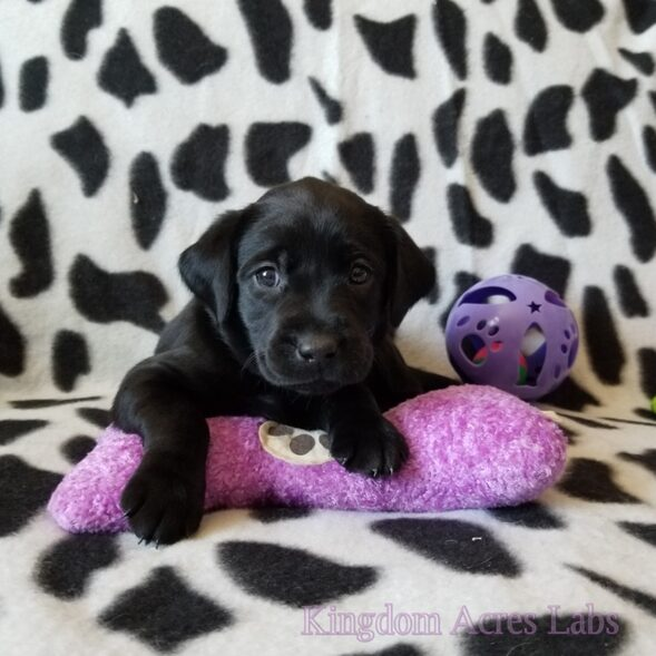 Black Labrador Retriever Female Puppy