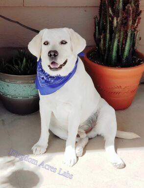 REAGAN IS A WHITE MALE LABRADOR FROM EXCELLENT CHAMPION BLOOD LINES, HE PRODUCES BEAUTIFUL WHITE AND CREAM LAB PUPPIES!
