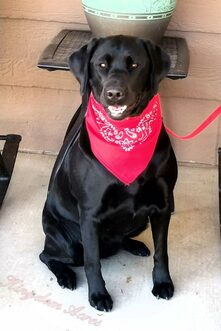 Ruby AKC Black Labrador Retriever-