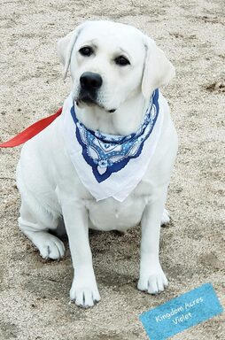 VIOLET IS ONE OF OUR MOST GOREOUS WHITE ENGLISH LABRADORS, SHE WILL PRODUCE OUTSTANDING QUALITY ENGLISH LABRADOR PUPPIES!