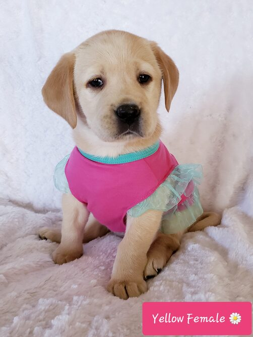 YELLOW AKC ENGLISH LABRADOR FEMALE PUPPY FOR SALE