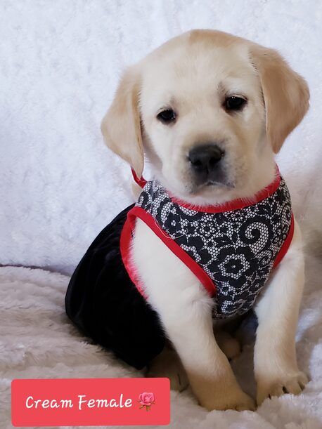 TRAINED AKC CREAM LABRADOR FEMALE PUPPY FOR SALE IN SOUTHERN CA