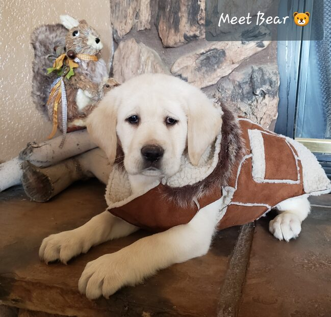 AKC CREAM LABRADOR MALE PUPPY FOR SALE IN CA
