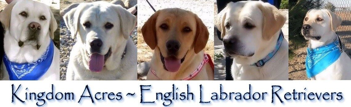 AKC ENGLISH LABRADOR PUPPIES FOR SALE IN SOUTHERN CALIFORNIA