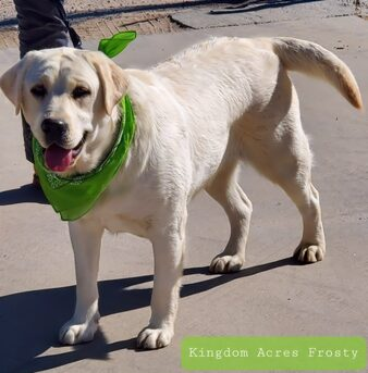 BLOSSOM IS A ENGLISH CREAM FEMALE LABRADOR THAT PRODUCES WHITE AND CREAM PUPPIES